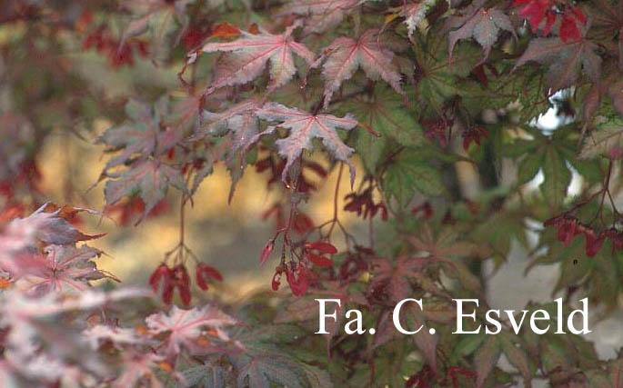 Acer palmatum 'Rugose Select'
