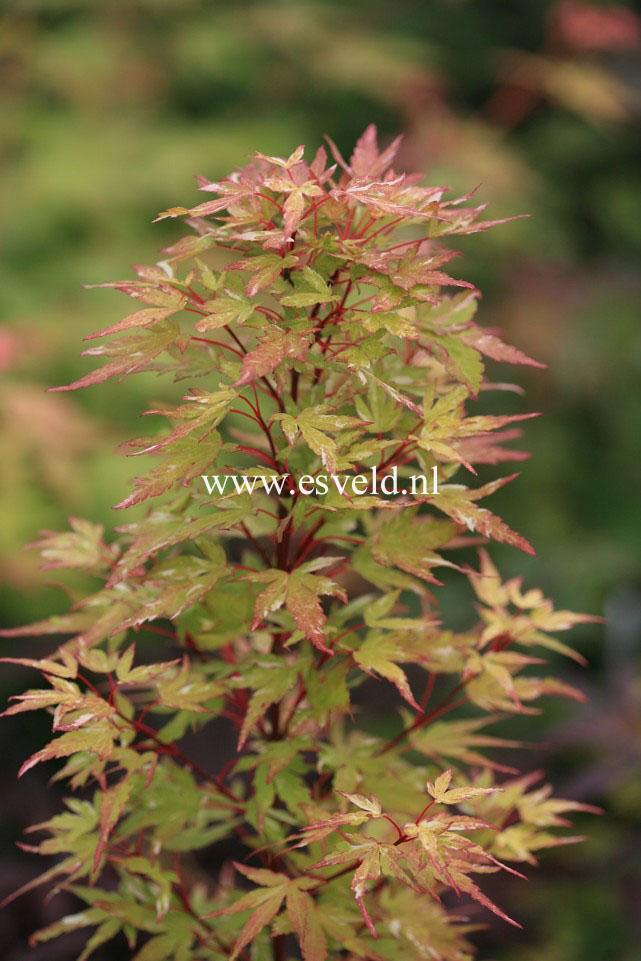 Acer palmatum 'Ryoku-u'