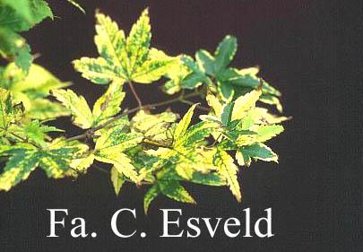 Acer palmatum 'Sagara-nishiki'