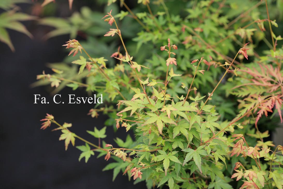 Acer palmatum 'Saiho'
