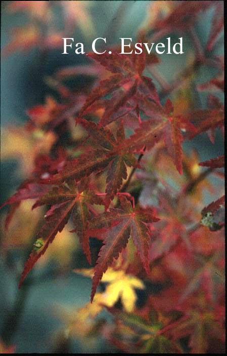 Acer palmatum 'Sandra'