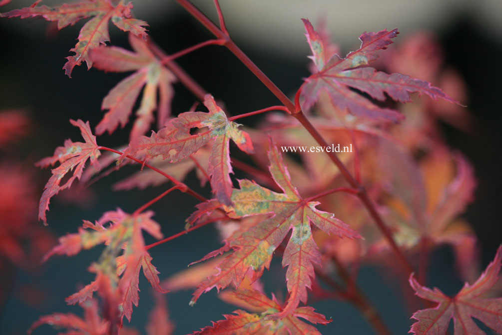 Acer palmatum 'Searle's Variegated'