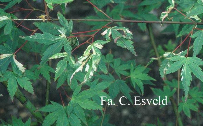 Acer palmatum 'Seigen'
