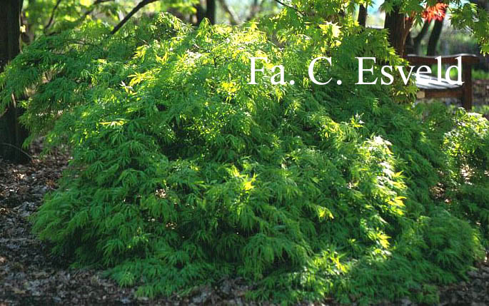 Acer palmatum 'Seki-mori'