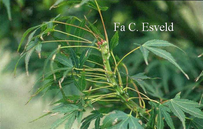 Acer palmatum 'Sekka-yatsubusa'