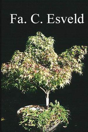 Acer palmatum 'Sharp's Pygmy'