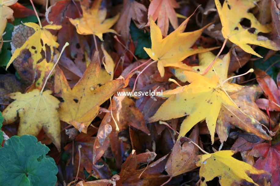 Acer palmatum 'Shigarami'