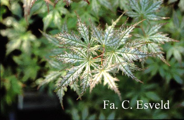 Acer palmatum 'Shigi-no-hoshi'