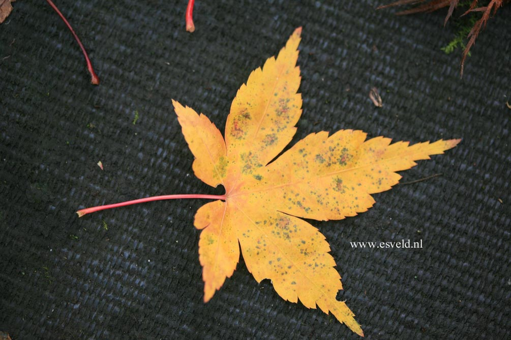 Acer palmatum 'Shohrei-ki-ji'