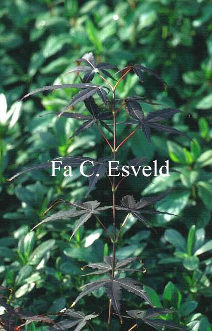 Acer palmatum 'Skeeter's Broom'