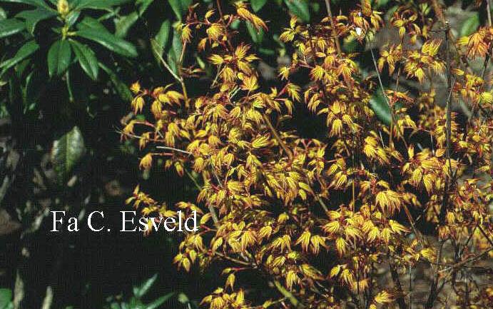 Acer palmatum 'Sode-nishiki'