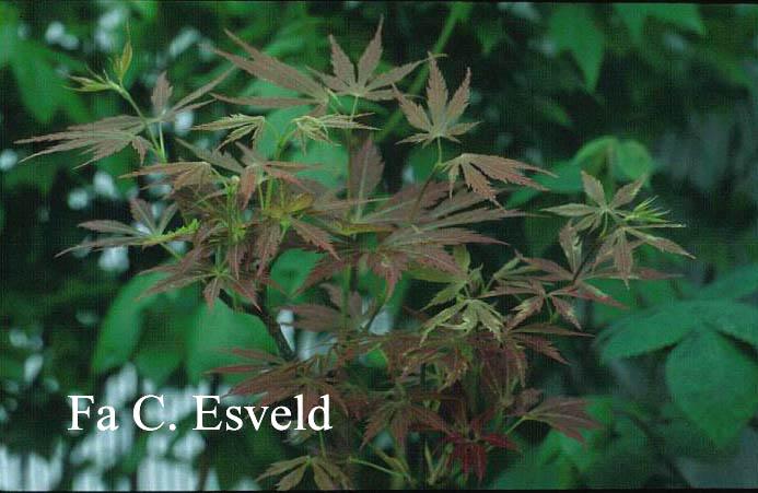 Acer palmatum 'St. Jean'