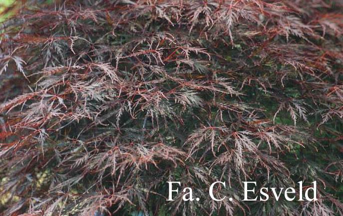 Acer palmatum 'Stella Rossa'