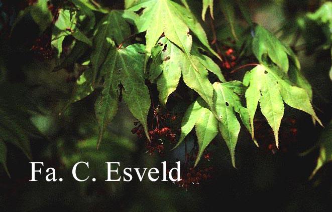Acer palmatum 'Taima'