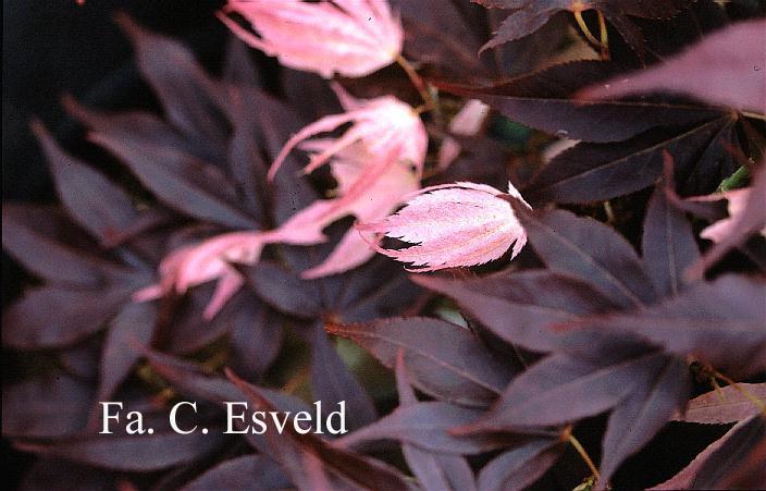 Acer palmatum 'Taimin-nishiki'