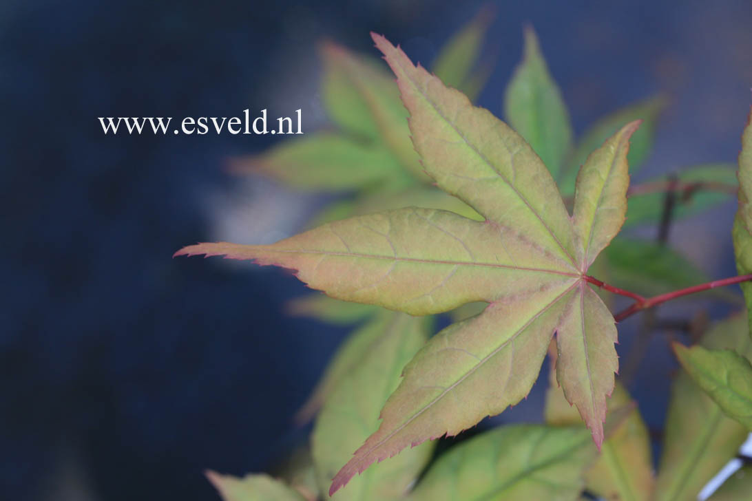 Acer palmatum 'Takatori'