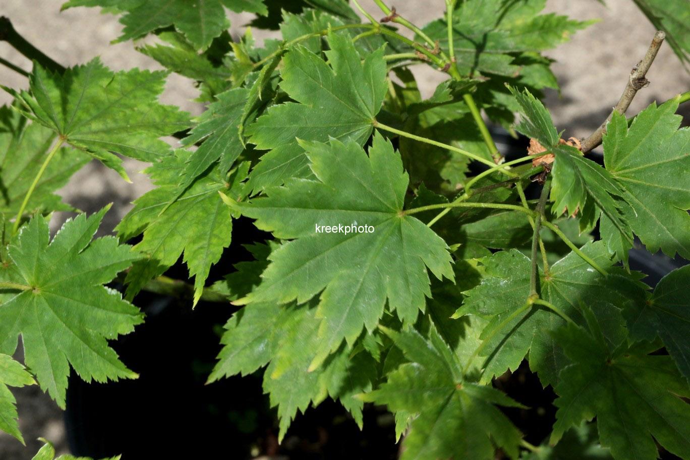 Acer palmatum 'Tani-gawa-dake'
