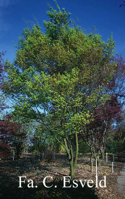 Acer palmatum 'Tsuchi-gumo'