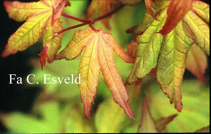 Acer palmatum 'Umegae'
