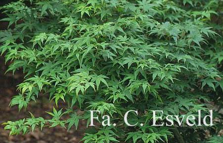 Acer palmatum 'Waka-midori'