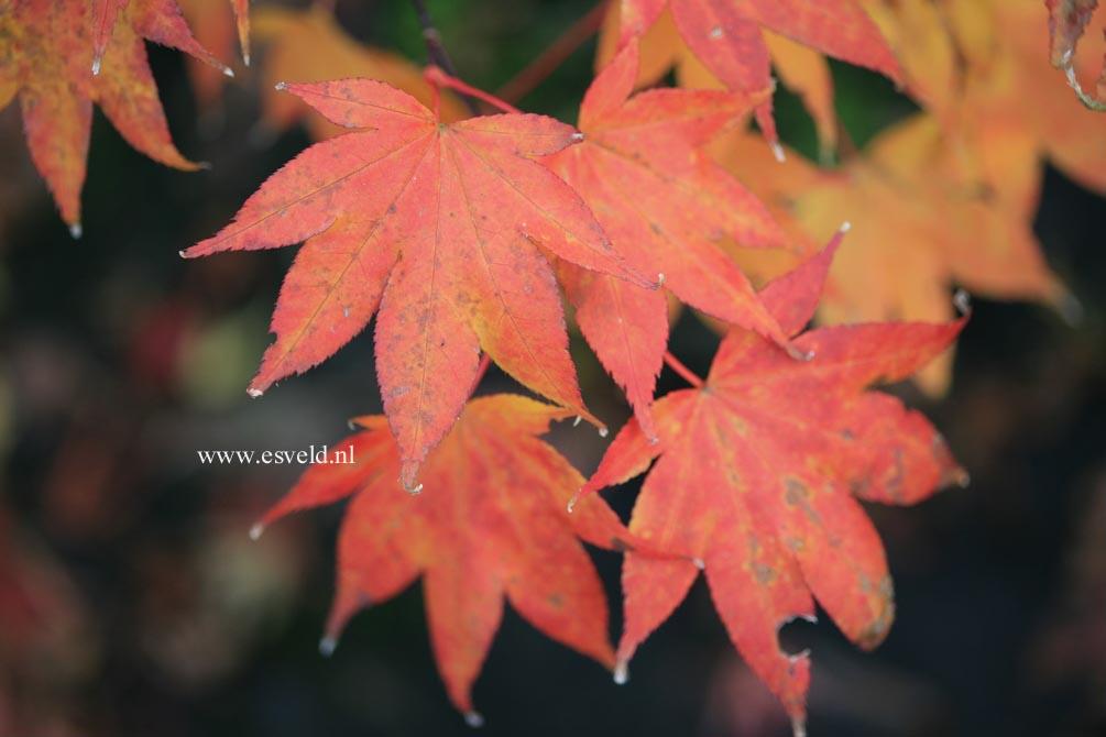 Acer palmatum 'Yadawara'