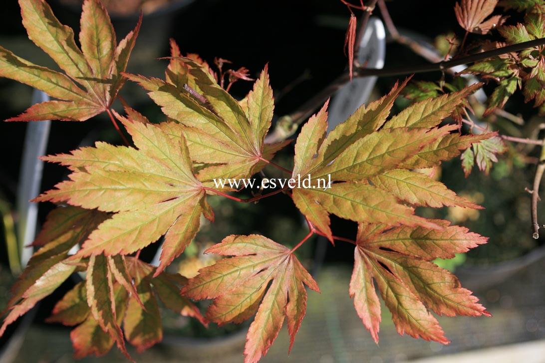 Acer palmatum 'Yagyu-no-sato'