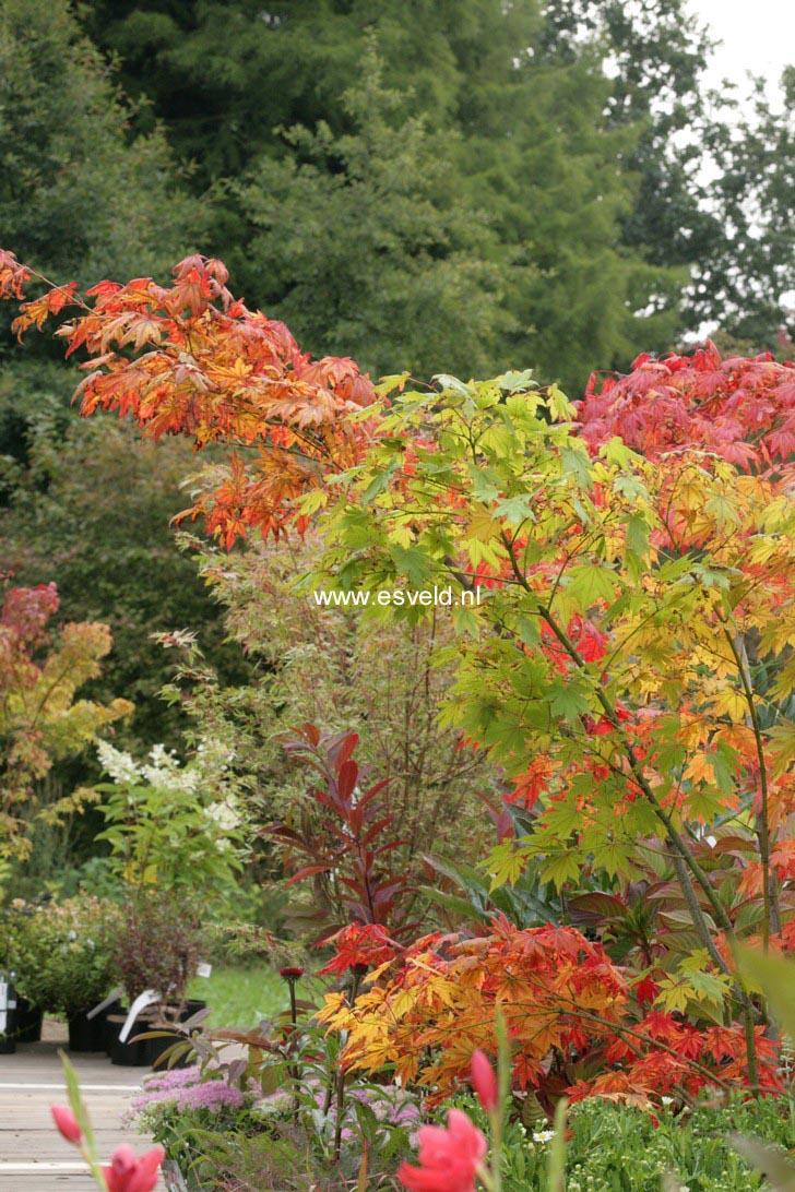 Acer palmatum 'Yama-otome'