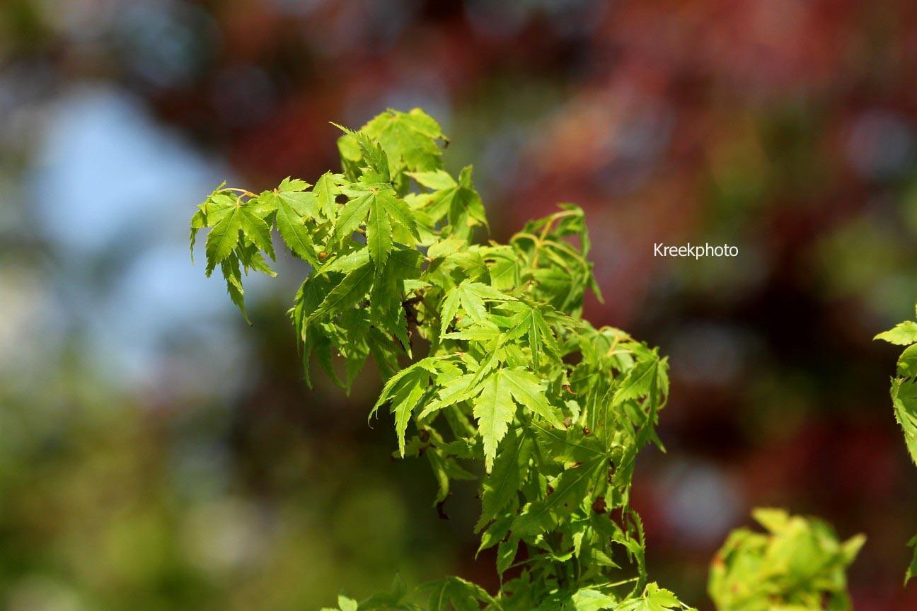 Acer palmatum 'Yamato-ao-yagi'