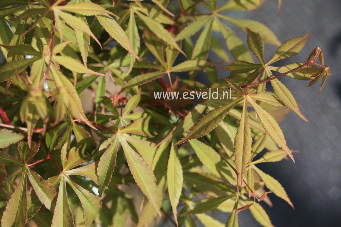 Acer palmatum 'Yoshimizu'
