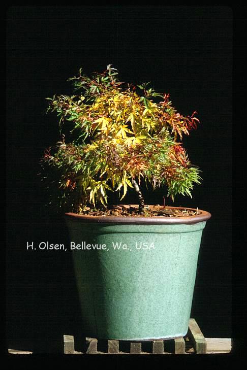 Acer palmatum 'Yuri-hime'