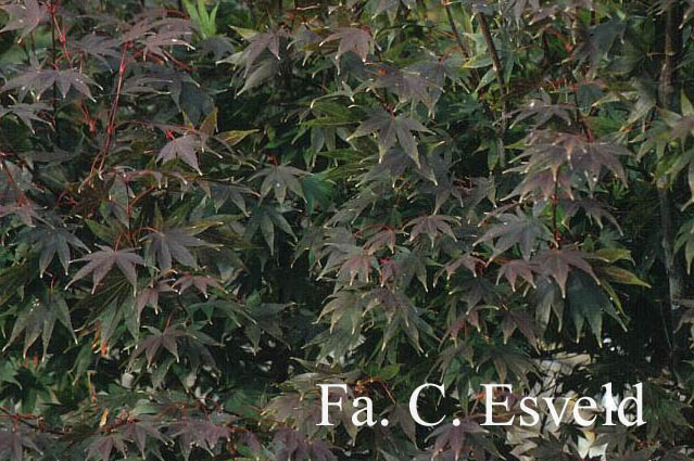 Acer palmatum ssp. matsumurae