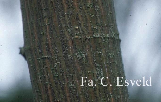 Acer pectinatum 'Sparkling'
