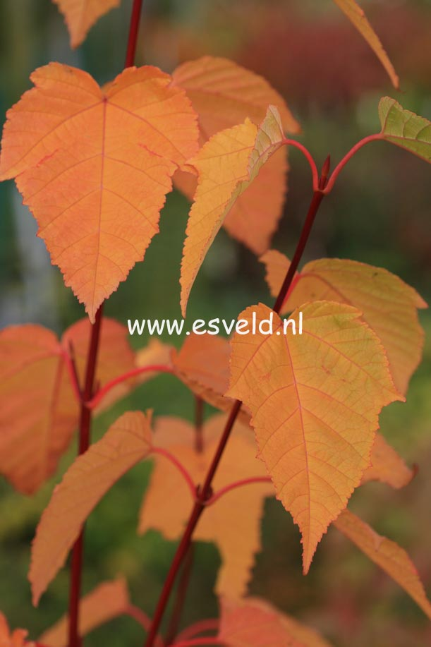 Acer pensylvanicum 'Silver Fox'