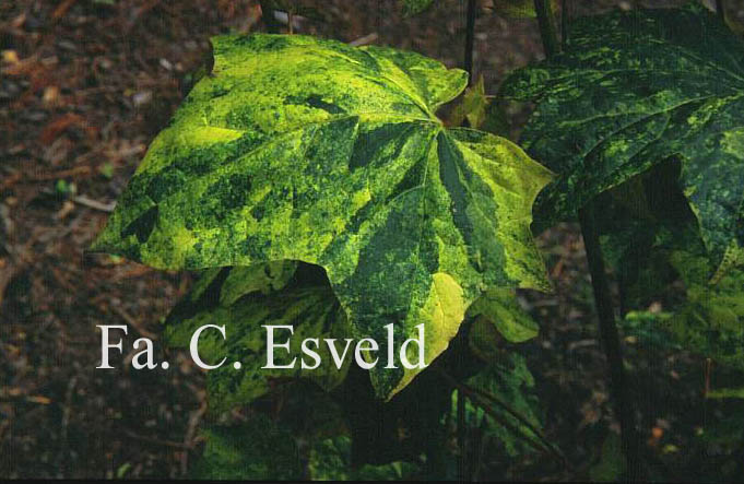 Acer pictum 'Hoshi-yadori'