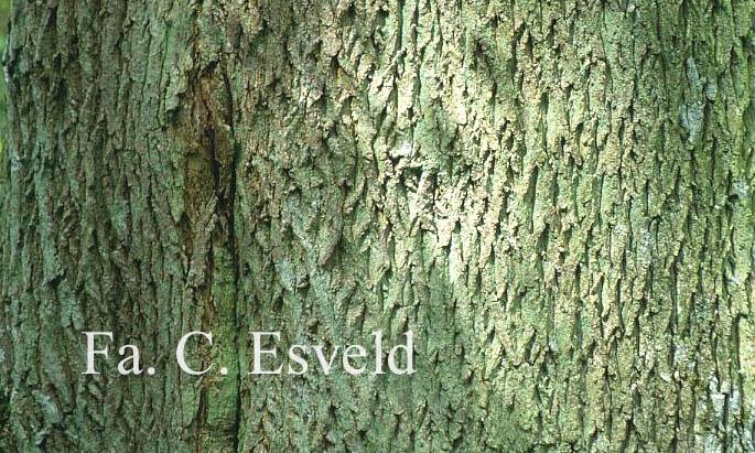 Acer platanoides 'Cucullatum'