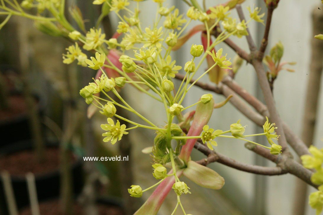 Acer platanoides 'Donig Special'