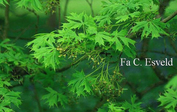Acer platanoides 'Laciniatum'