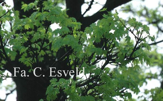 Acer platanoides 'Pyramidale Nanum'