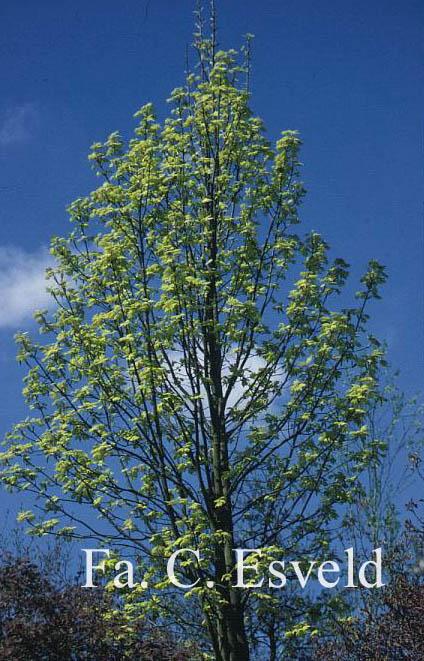 Acer pseudoplatanus 'Corstorphinense'