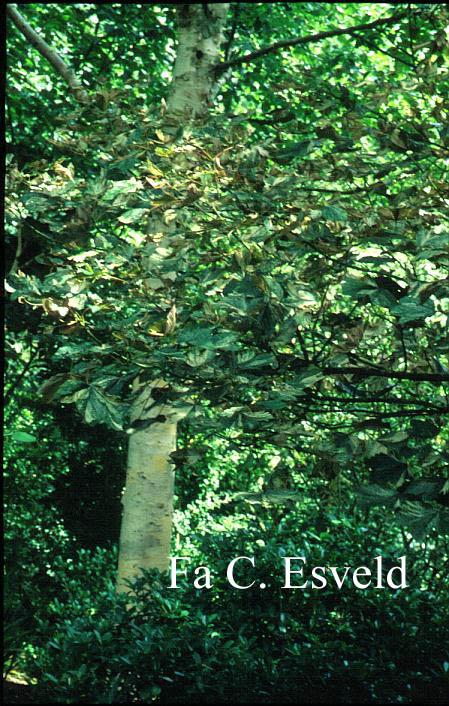 Acer pseudoplatanus 'Nizetii'