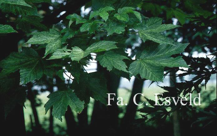Acer pseudoplatanus 'Prinz Handjery'