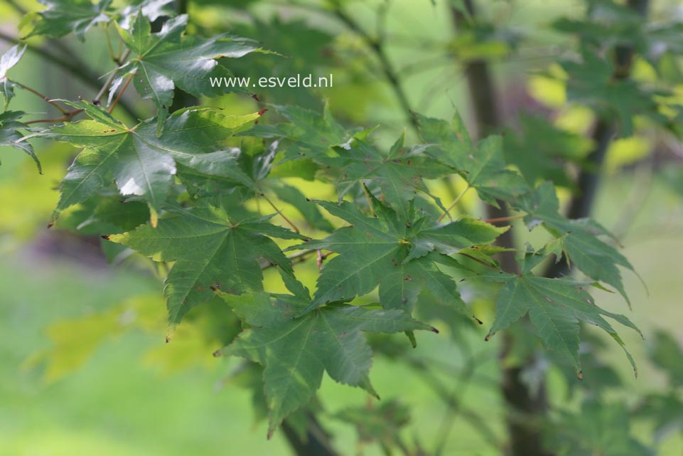 Acer robustum