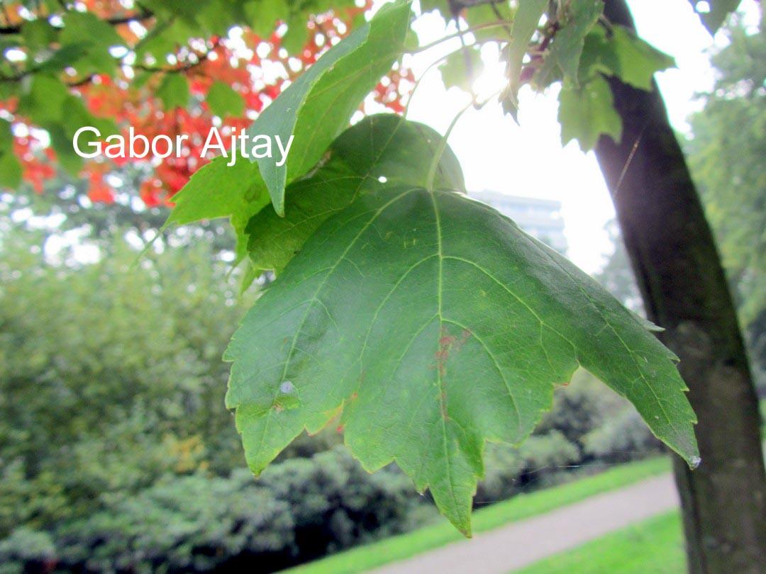 Acer rubrum 'Autumn Spire'