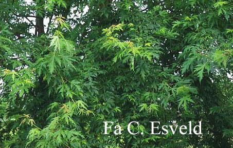 Acer saccharinum 'Beebe's Cutleaf Weeping'