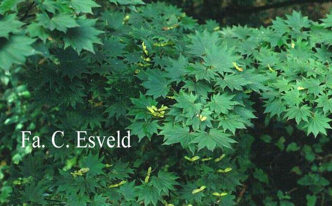 Acer shirasawanum