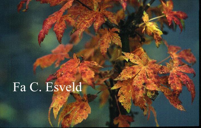 Acer sieboldianum 'Lovett'