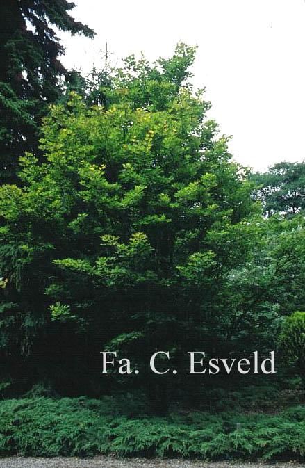 Acer sieboldianum 'Osiris'