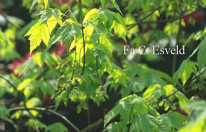 Acer sinopurpurascens