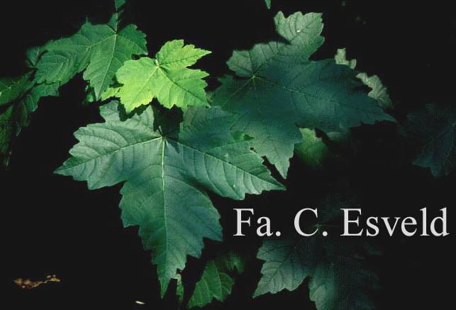 Acer velutinum var. glabrescens
