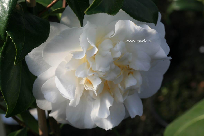Camellia 'Cream Puff'